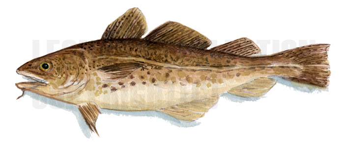 Codfish definition what is for Cod fish mercury